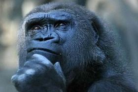 Majmun kontemplira